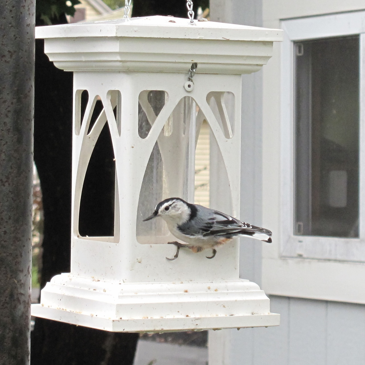 A Nuthatch enjoying a feast in the Gothic tube feeder, Sadler Garden Collections.